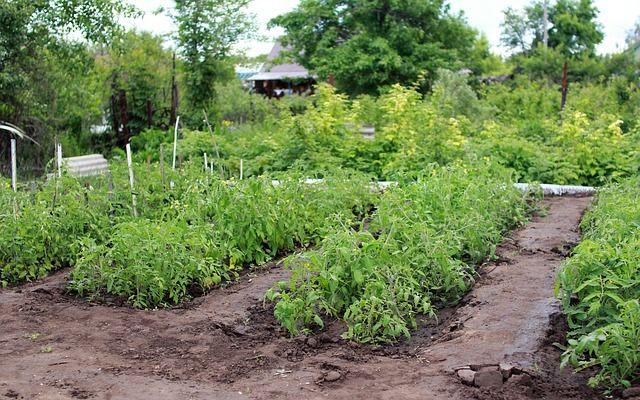 Burgonya biokertben